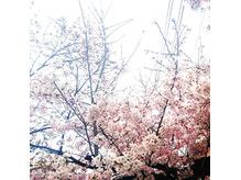 やっと桜を見れました!