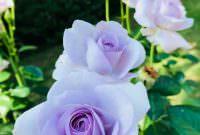 青いバラの花言葉は