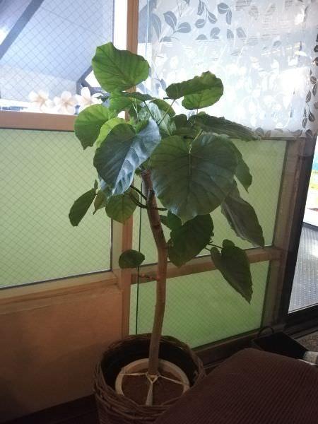 観葉植物と祇園祭の粽さん