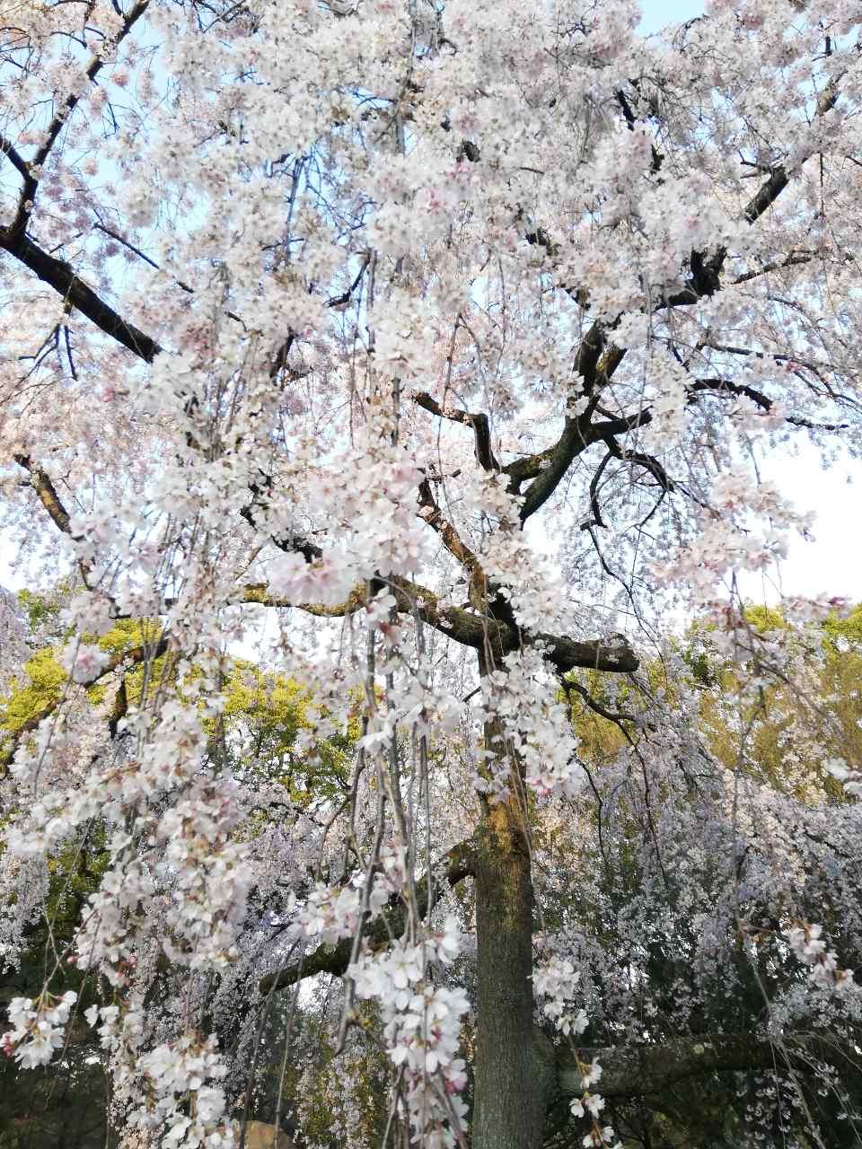 🌸さくら🌸サクラ🌸桜🌸