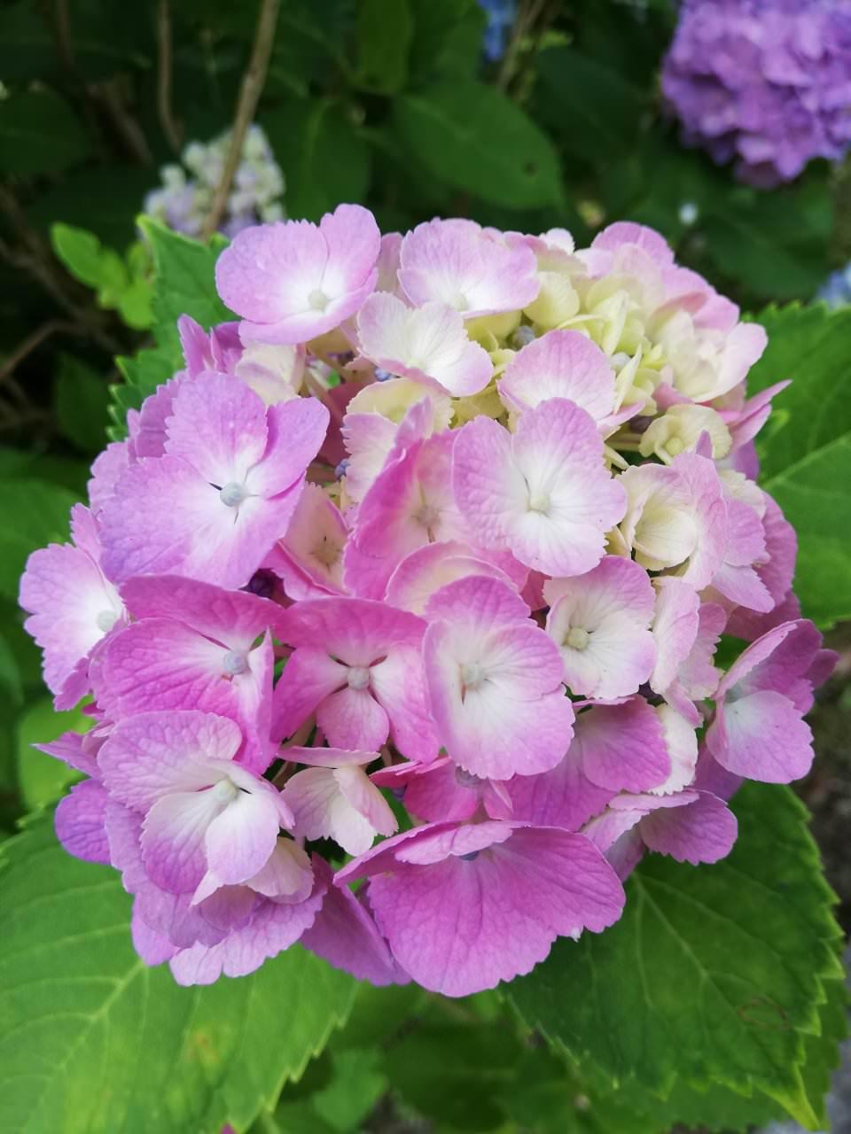 紫陽花の季節💜💗💙